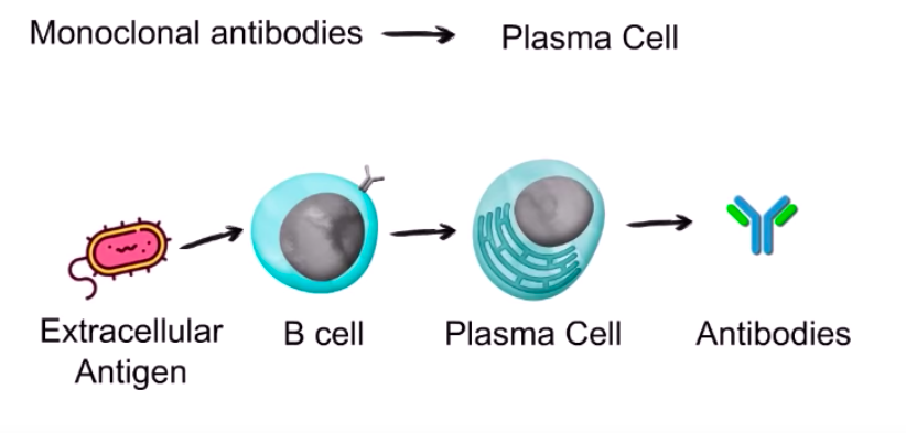 The Cure for Corona- Understanding Monoclonal Antibodies