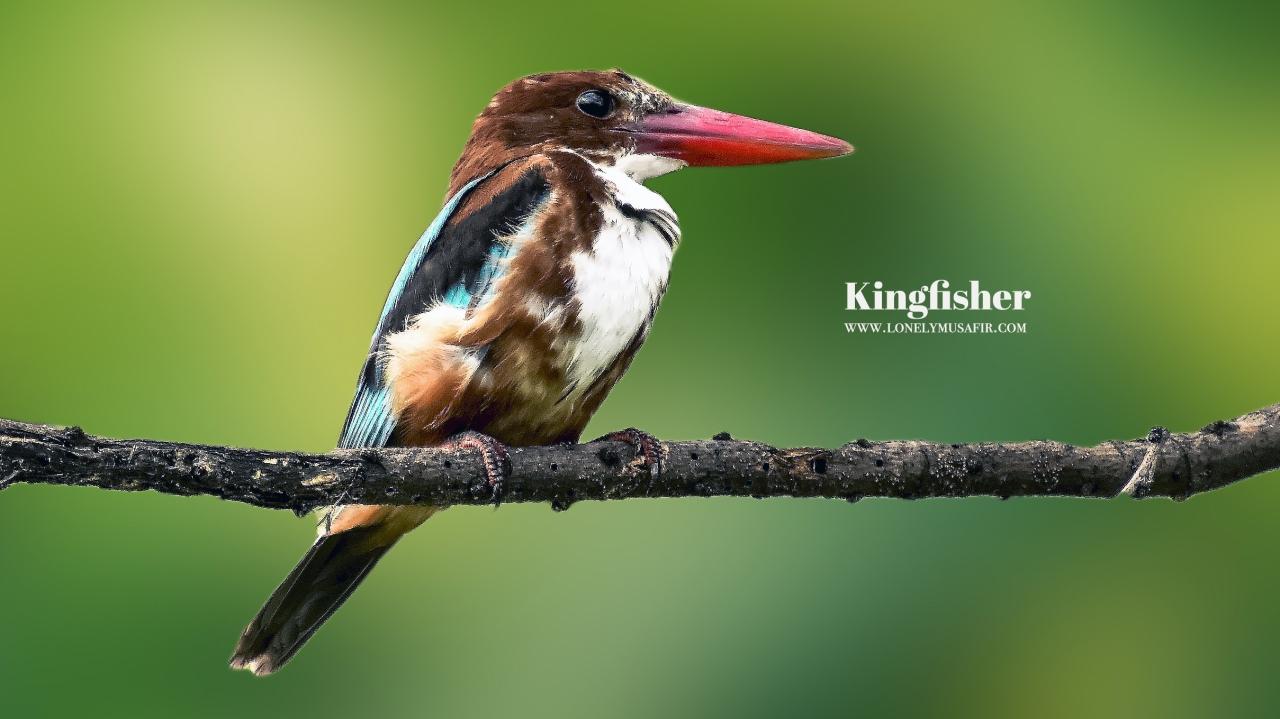 White breasted Kingfisher or Maachranga (InBengali)